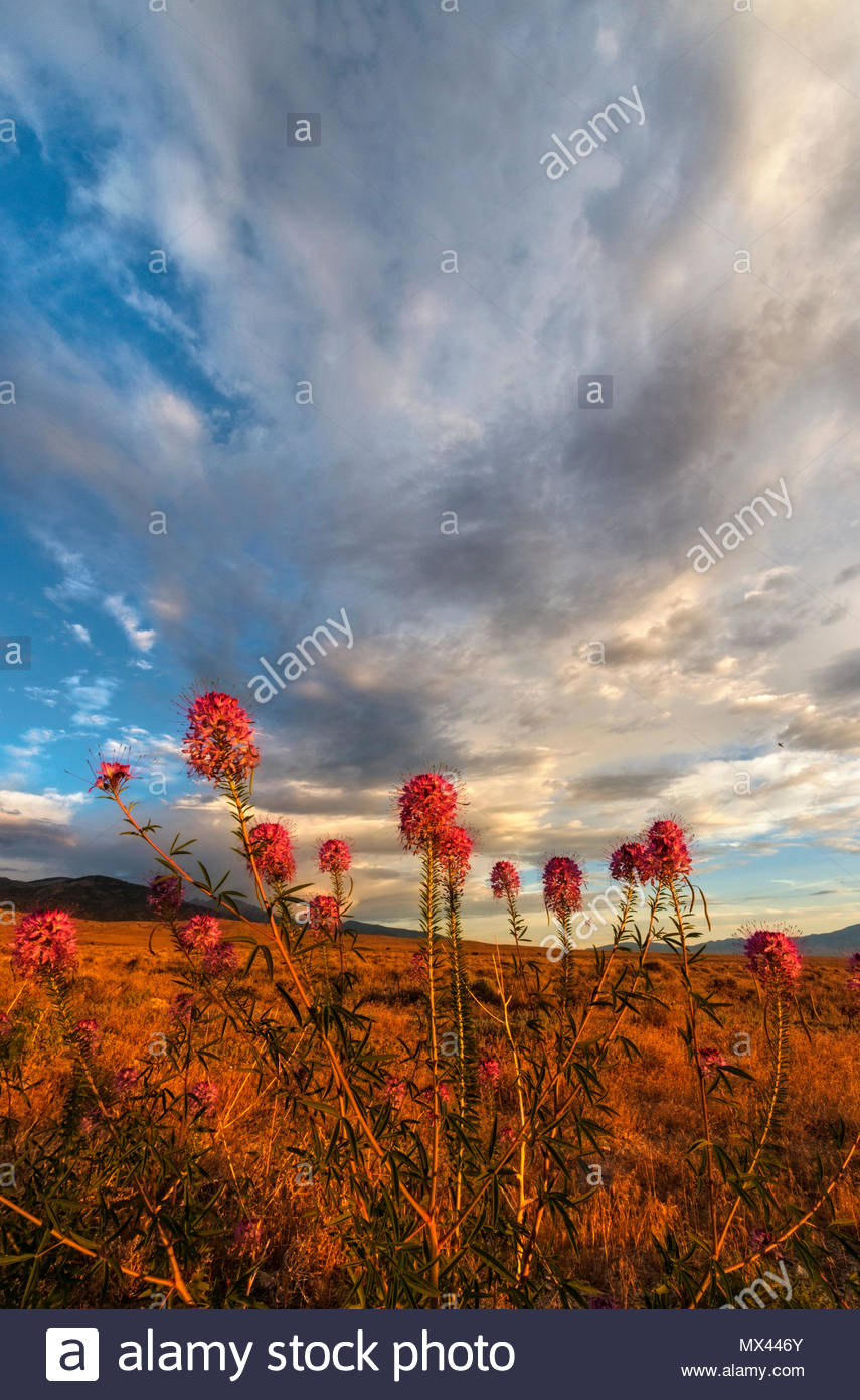 Rocky Mountain Biene Pflanze, Morgen Wolken und die Schlange, BLM landet, White Pine County, Nevada Stockbild