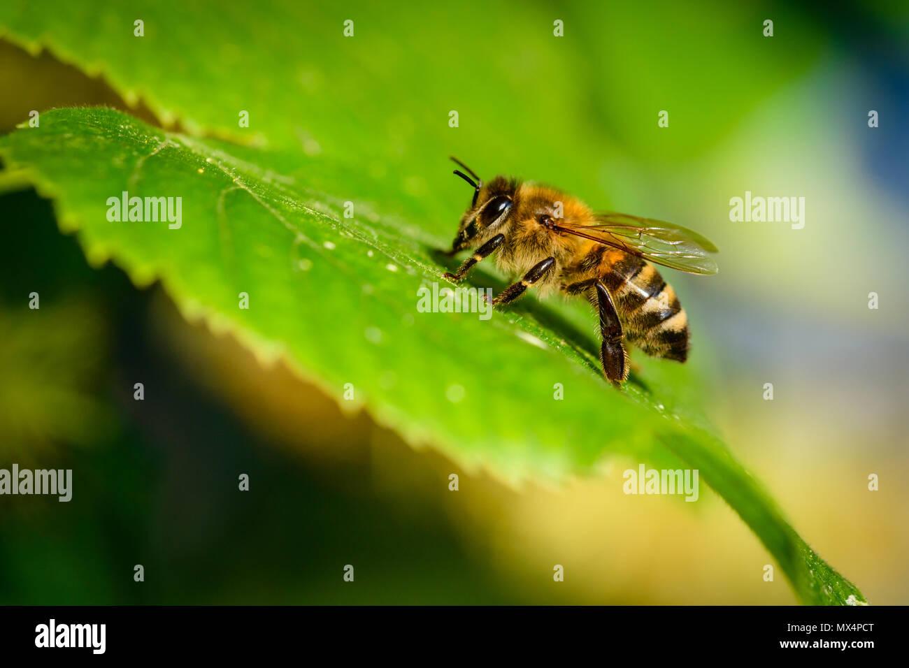 Bumblebee in Linden Blumen, in der Nähe von Bumble Bee Nektar sammeln, Honig Stockbild