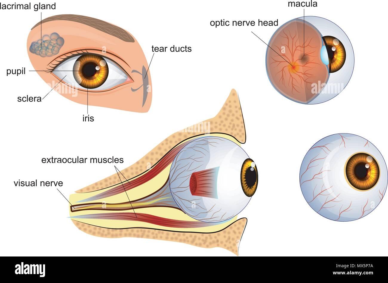 Niedlich Fundus Des Auges Anatomie Fotos - Anatomie Ideen - finotti.info