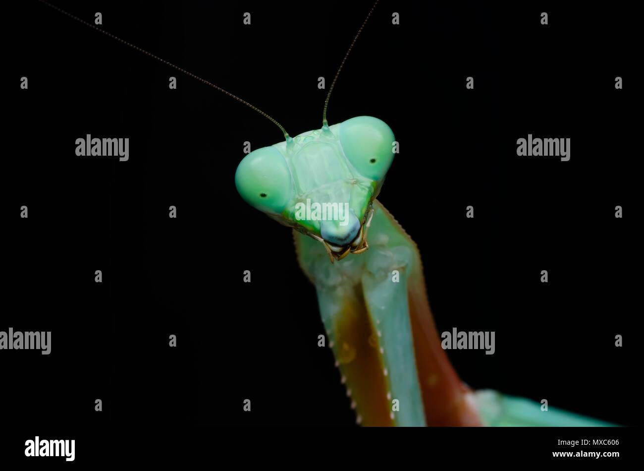 Grüne Gottesanbeterin. Hierodula s.p Stockfoto