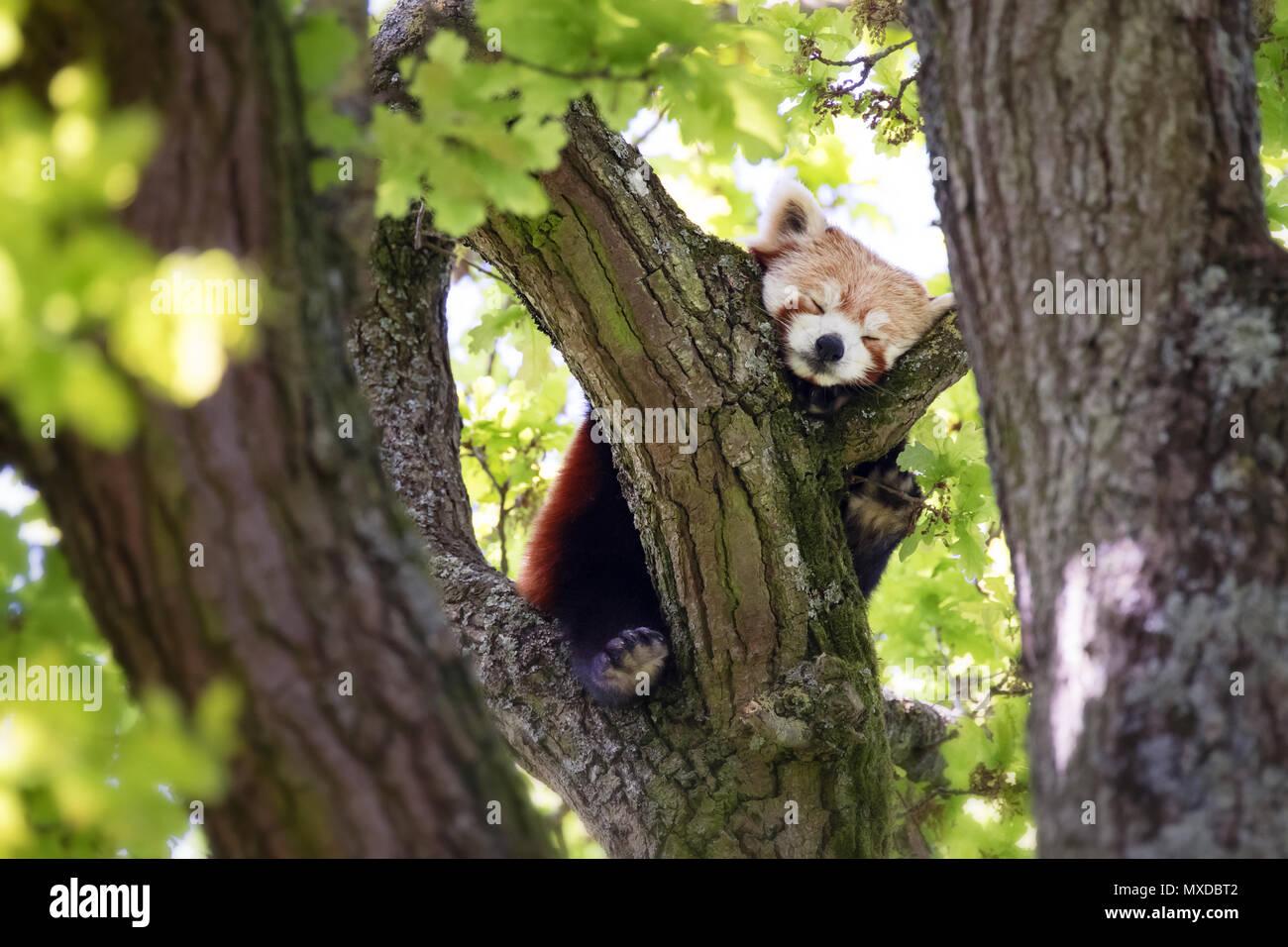 Niedlichen Roten Panda Ailurus Fulgens Schlafen In Einem Baum