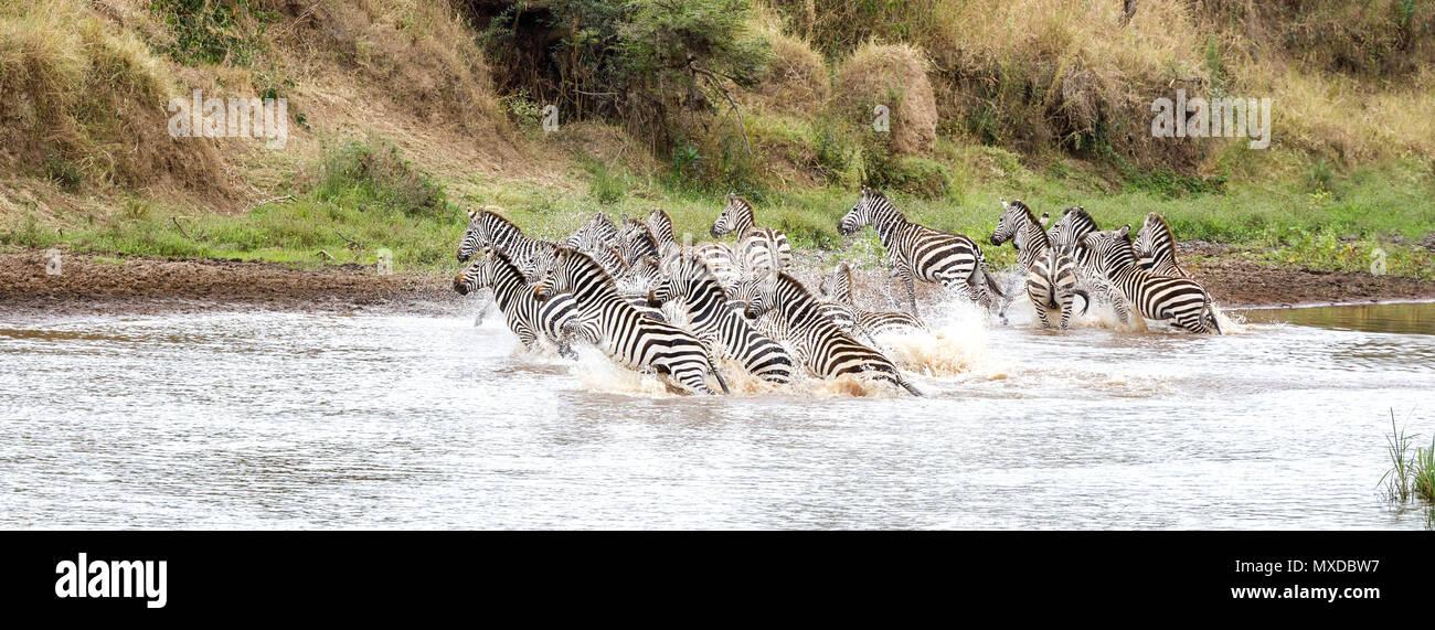 Eine Herde von Ebenen Burchells Zebra laufen in den Untiefen des Mara River, Masai Mara, Kenia. Diese Tiere sind durch ein Raubtier spooked worden und sind headi Stockbild