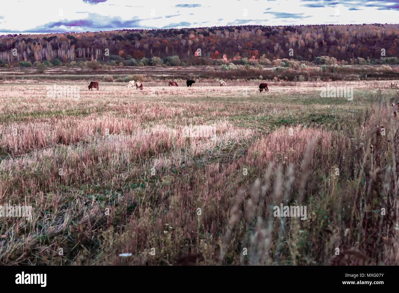 Malerischer Herbst rustikale Landschaft, weidende Kühe, Feld, Wiese auf dem Hintergrund von Wald. Sonnigen Tag auf dem Land. Stockbild