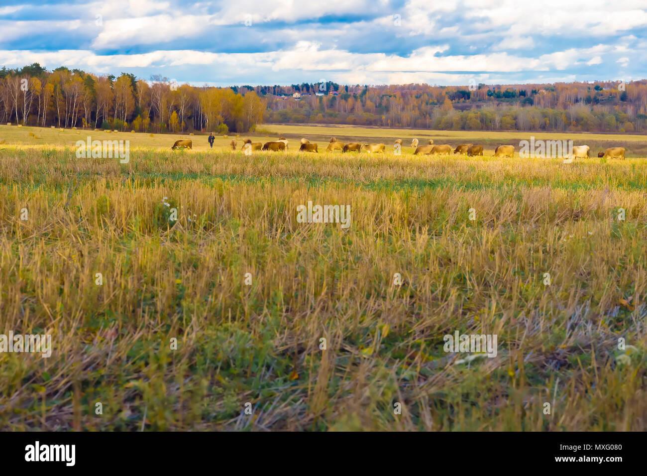 Herbst rustikale Landschaft, abfallenden Feld, Wiese, weidende Kühe, Hirte, Feld nach der Ernte auf den Hintergrund der Wald Stockbild