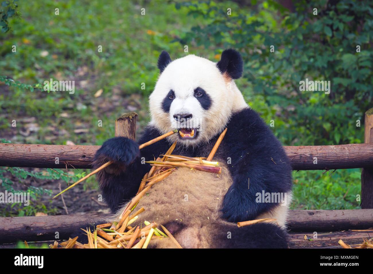 Panda Essen Bambus Liegen Auf Holz In Chengdu Bei Tag Provinz