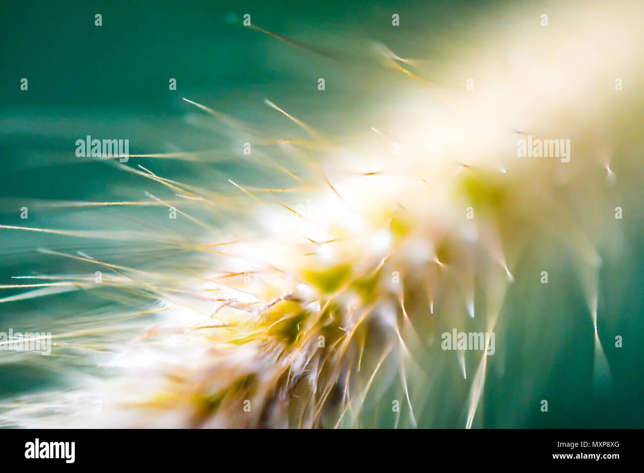 Brunnen Gras, Sumpf Foxtail Grass, Sumpf Foxtail, Chinesisch Pennisetum Stockbild