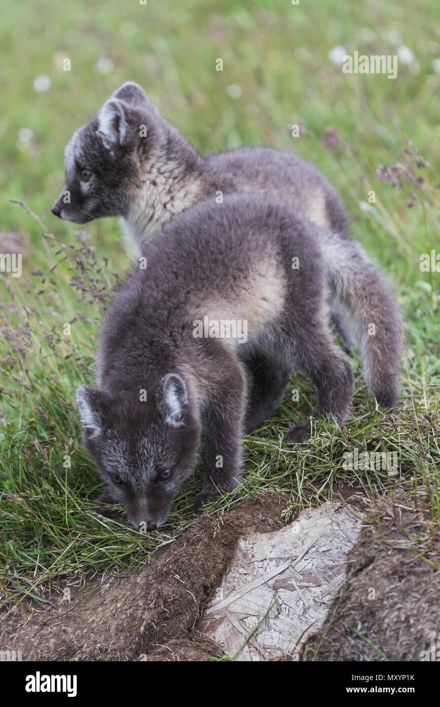 Nahaufnahme von zwei jungen verspielten Arctic fox Cub vor ihr Versteck auf Island Stockbild
