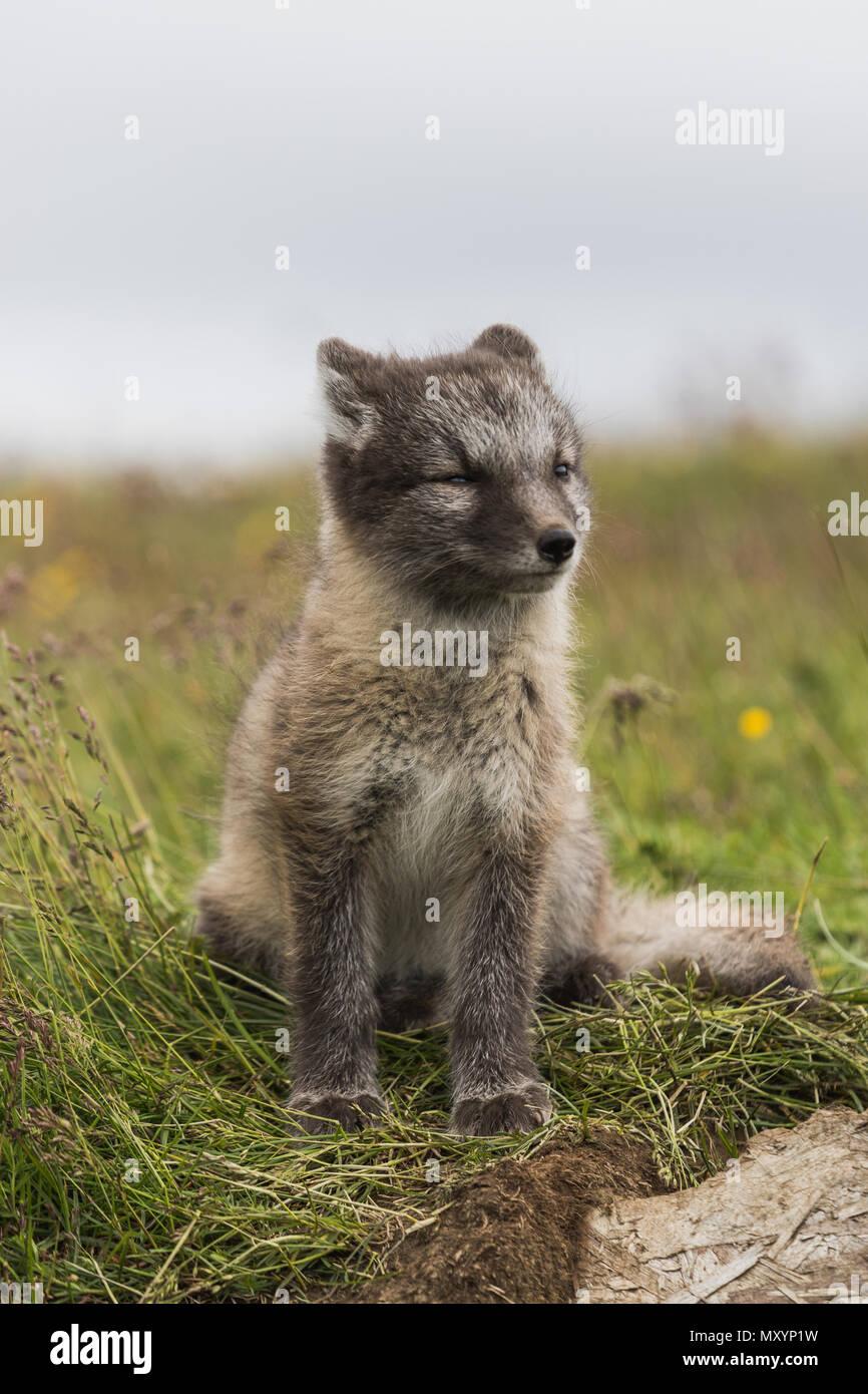 Nahaufnahme eines jungen verspielten Arctic fox Cub im Sommer auf Island Stockfoto