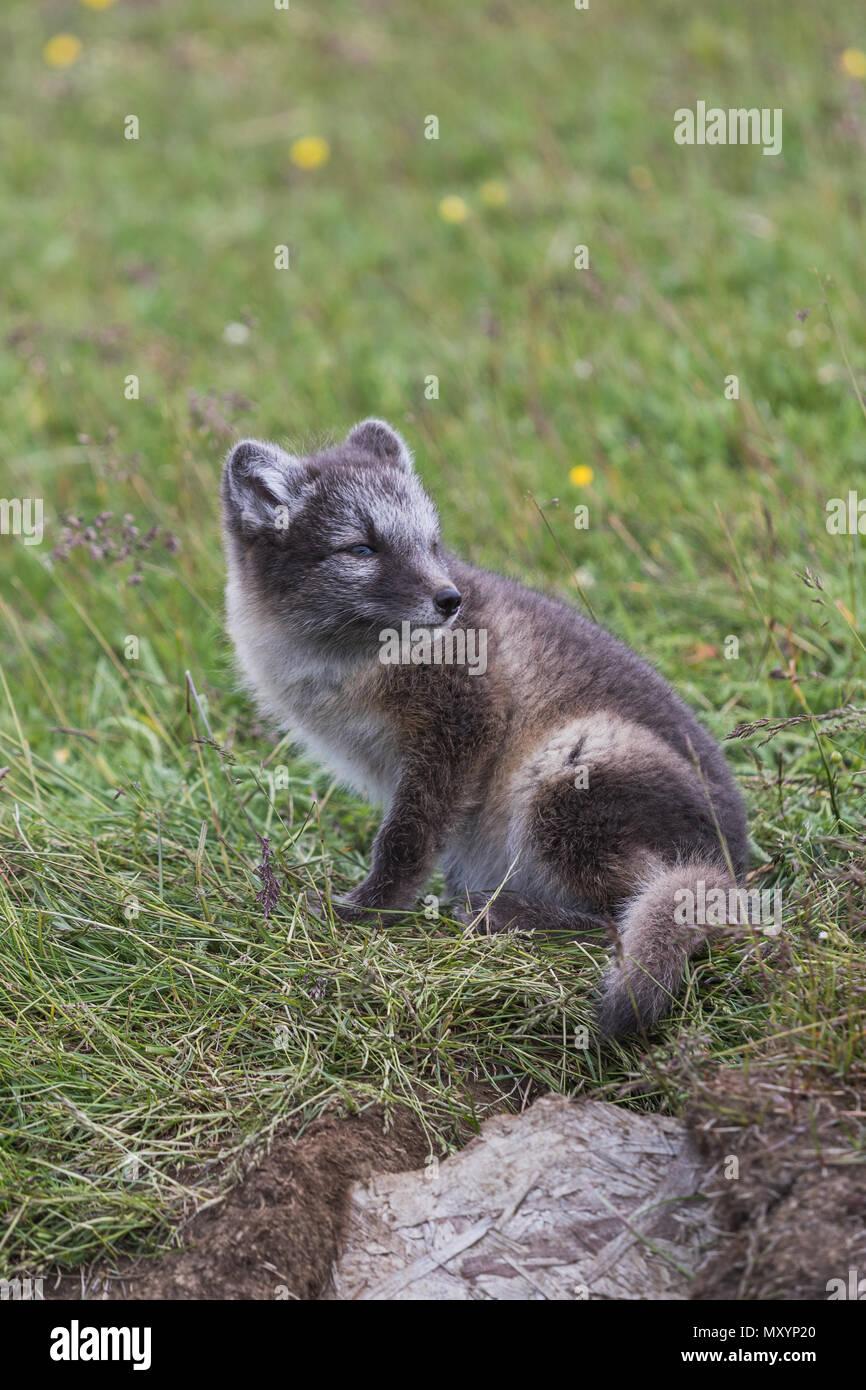 Nahaufnahme eines jungen verspielten Arctic fox Cub im Sommer auf Island Stockbild