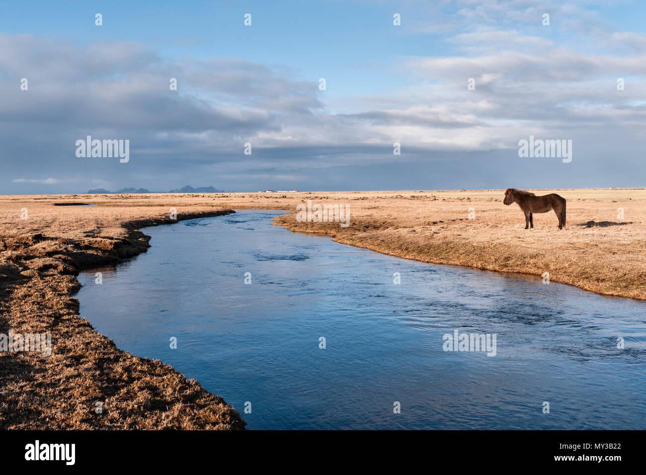 South Island. Eine isländische Pferd durch die Holtsá River, südlich des Eyjafjallajökull, am frühen Morgen von der Ringstraße gesehen Stockbild