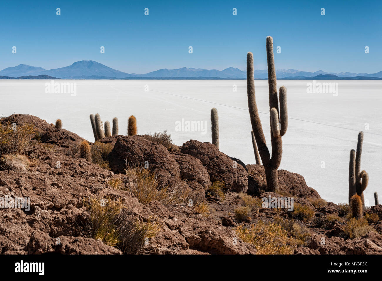 Trichoreceus Kaktus auf der Isla Incahuasi (Isla del Pescado-Fish Insel) in der Mitte der größten Salz der Welt schlicht Uyuni Salzwüste, Bolivien Stockbild
