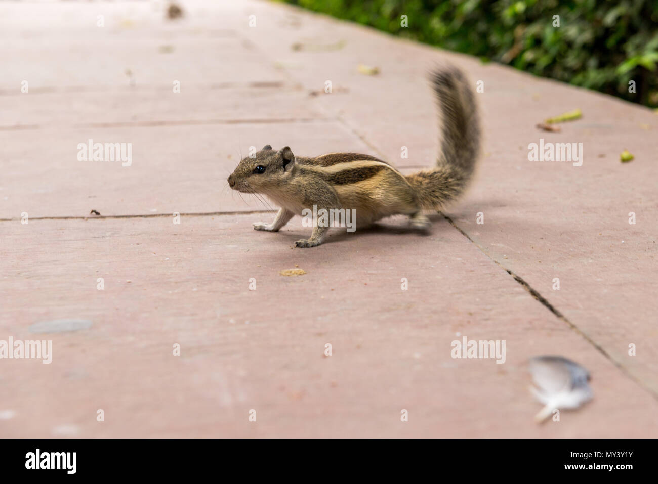 Palm Eichhörnchen im Roten Fort Komplex in Old Delhi Stockbild