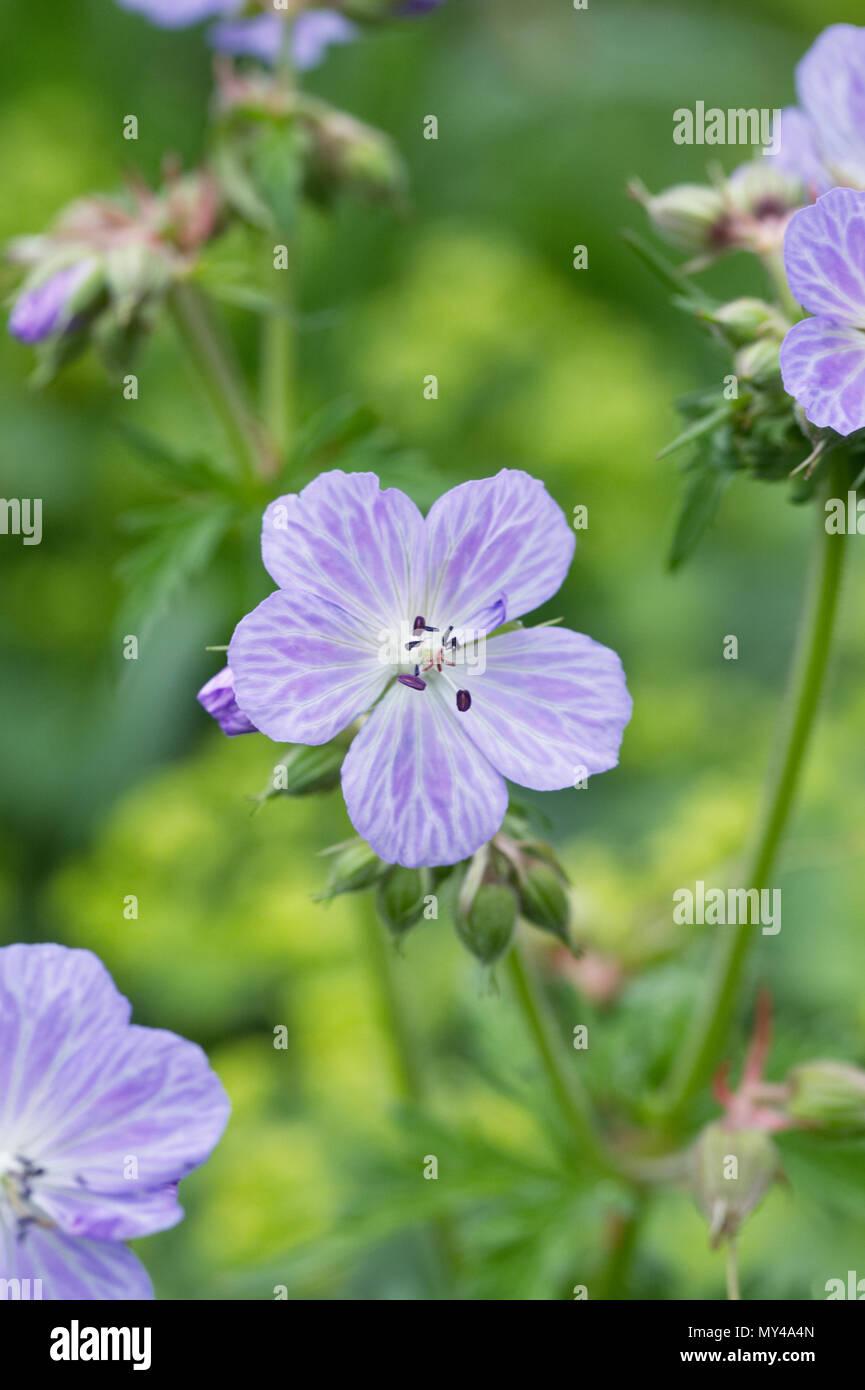 Geranium pratense 'Mrs Kendall Clark' Blumen. Stockbild