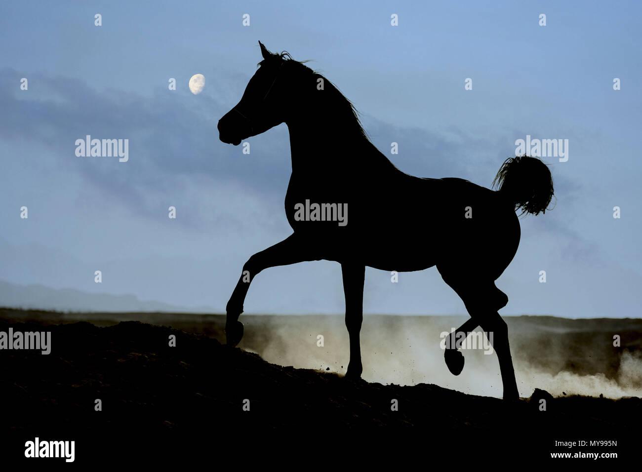 Arabische Pferd. Schwarzer Hengst in der Wüste Trab, gegen den Mond. Ägypten Stockbild