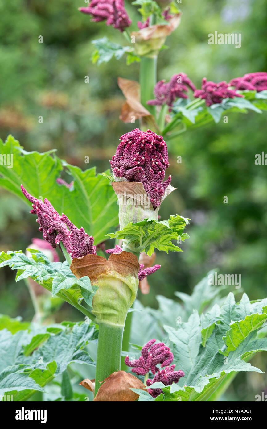 Berühmt Rheum 'Große bere'. Zierpflanzen Rhabarber Pflanzen blühen im LG96