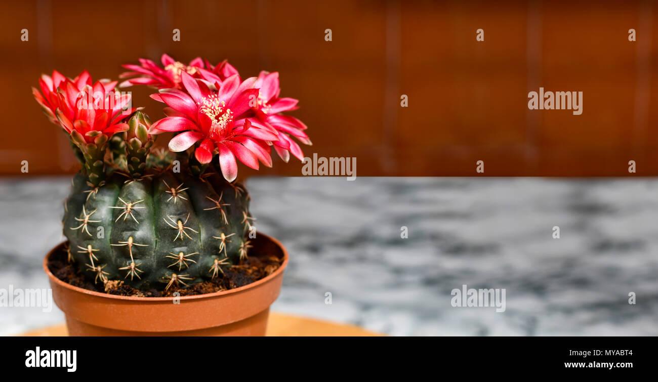 Schöne Coryphantha Geführt Blühende Kakteen Zimmerpflanze Rote