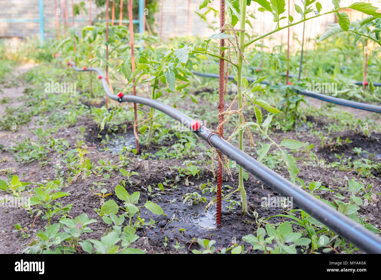 Tropfbewasserung Auf Dem Bett Setzlinge Vorbereitet Fur Den Anbau Von Tomaten Auf Betten Mit Tropfchenbewasserung Stockfotografie Alamy