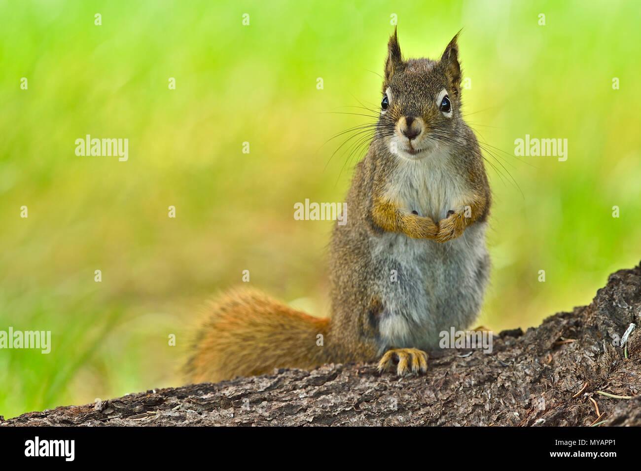 """Ein horizontales Bild eines wilden Eichhörnchen """"Tamiasciurus hudsonicus'; auf einem Baumstamm mit einem niedlichen Ausdruck auf seinem Gesicht, in der Nähe von Hinton Alberta. Stockbild"""