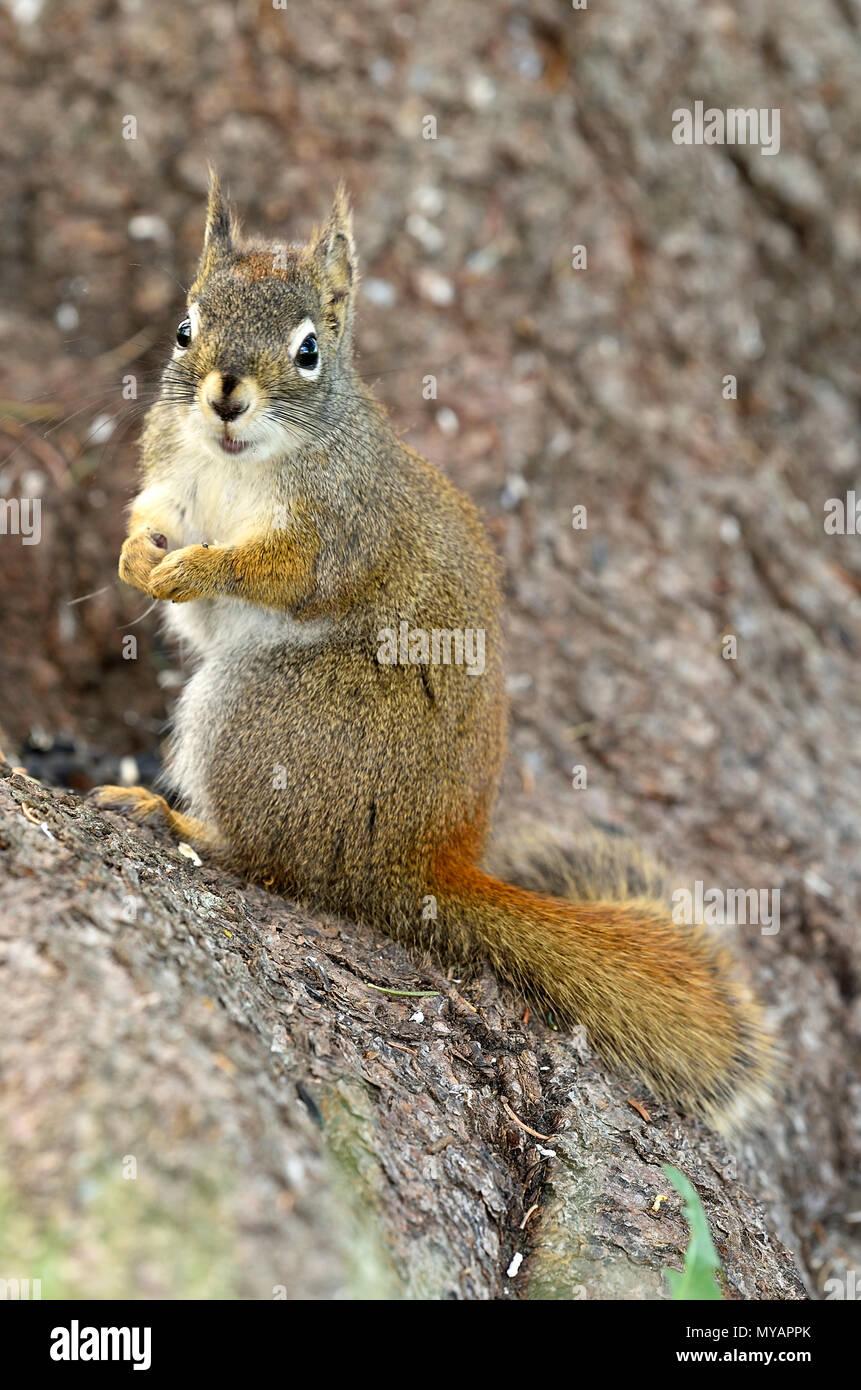 """Eine vertikale Bild eines wilden Eichhörnchen """"Tamiasciurus hudsonicus'; auf einem Baumstamm mit einem niedlichen Ausdruck auf seinem Gesicht, in der Nähe von Hinton Alberta. Stockbild"""