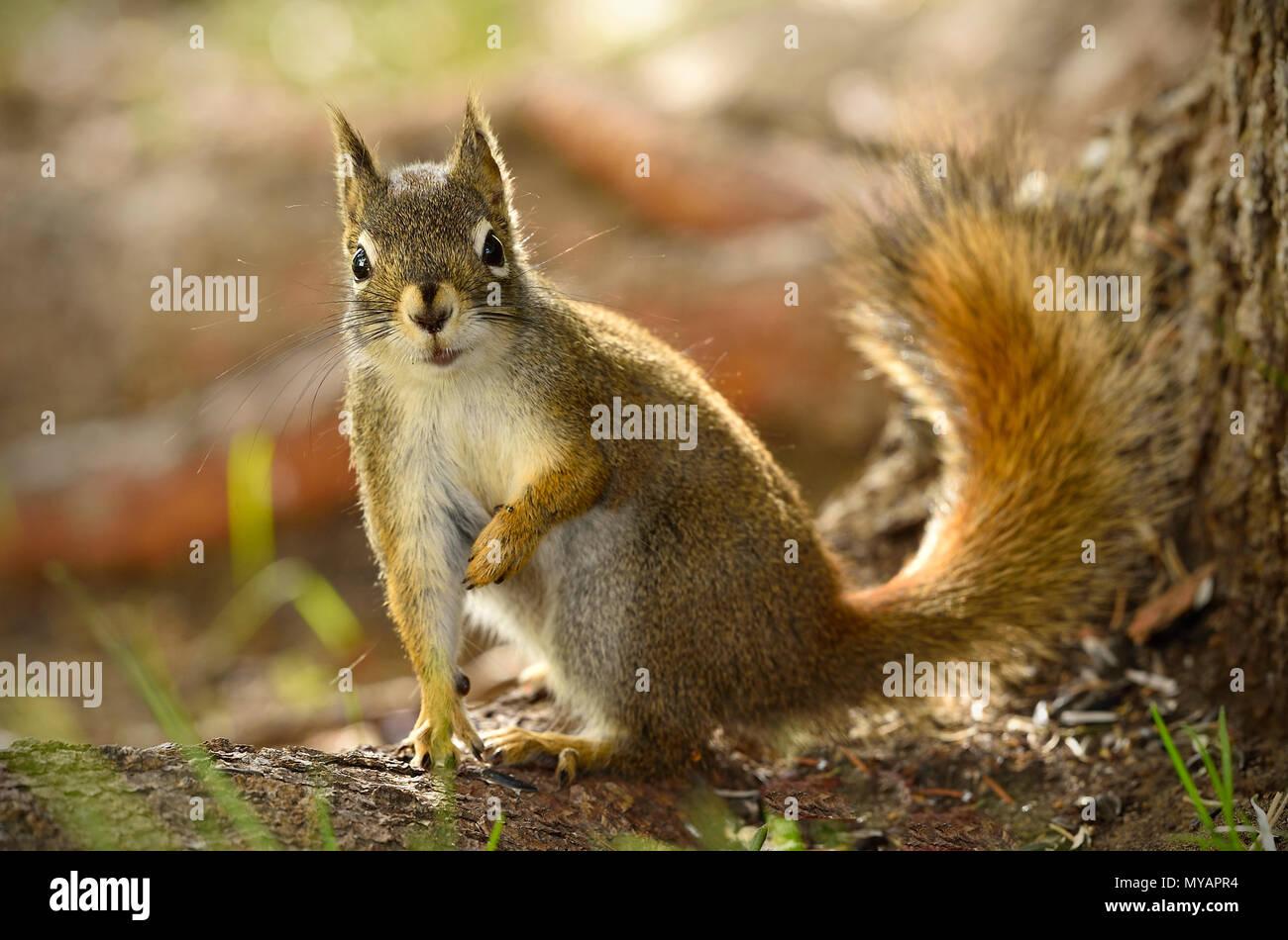 """Eine Nahaufnahme Bild eines wilden Eichhörnchen """"Tamiasciurus hudsonicus'; sitzend von einem Baumstamm mit einem fragenden Ausdruck auf seinem Gesicht, in der Nähe von Hinton Alb Stockbild"""