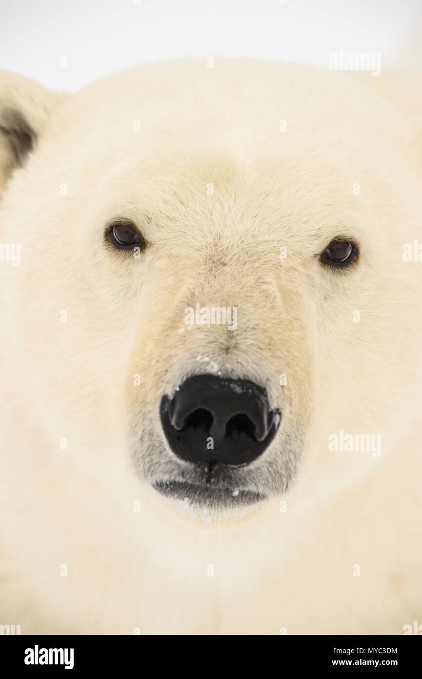Eisbär (Ursus maritimus), Wapusk NP, Cape Churchill, Manitoba, Kanada Stockbild