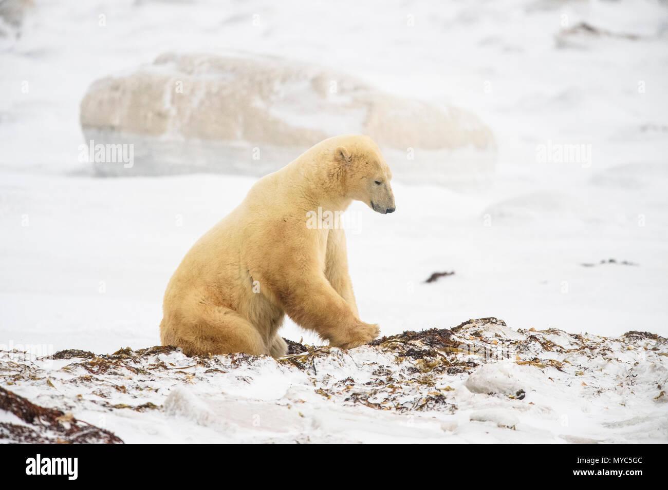 Eisbär (Ursus maritimus) Aushub Tag Bett in Seetang, Wapusk NP, Cape Churchill, Manitoba, Kanada Stockbild