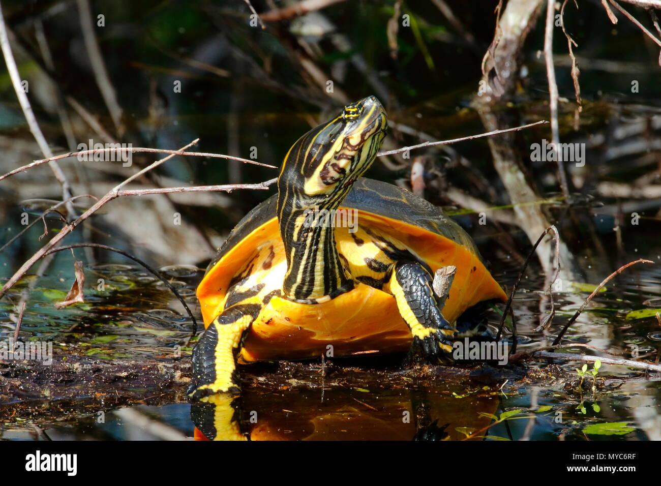 Ein Huhn Schildkröte, reticularia Deirochelys, Sonnenbaden auf einem Protokoll. Stockbild