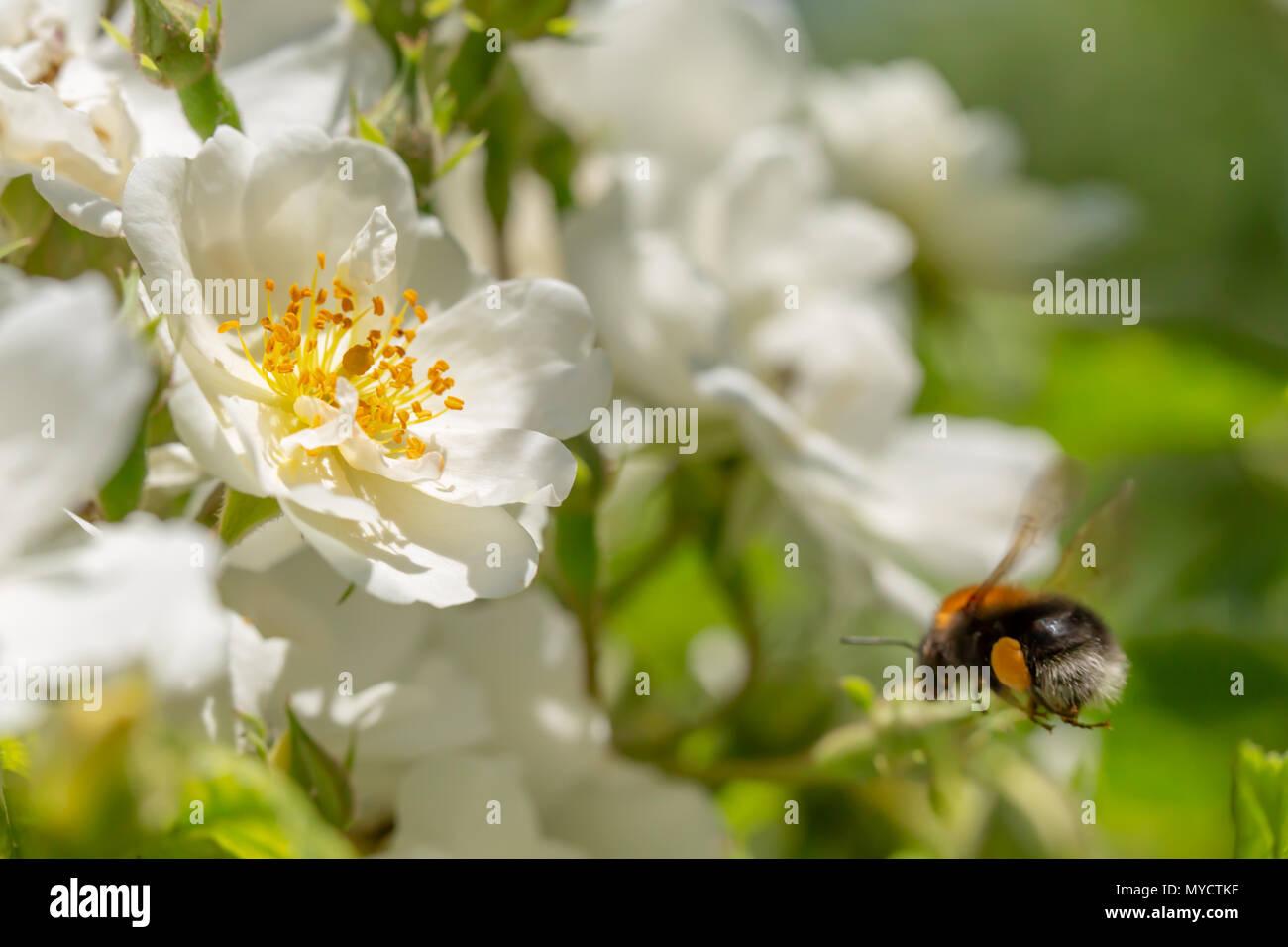 official photos 892ab 54ef6 Wilde Weiße Rose Blüten mit antheren im Fokus und Baum ...