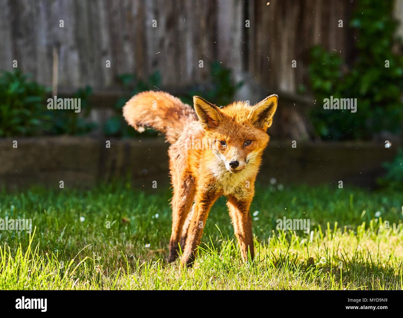 Urban Fuchs Im Garten Im Süden Londons Stockfoto Bild 188992421