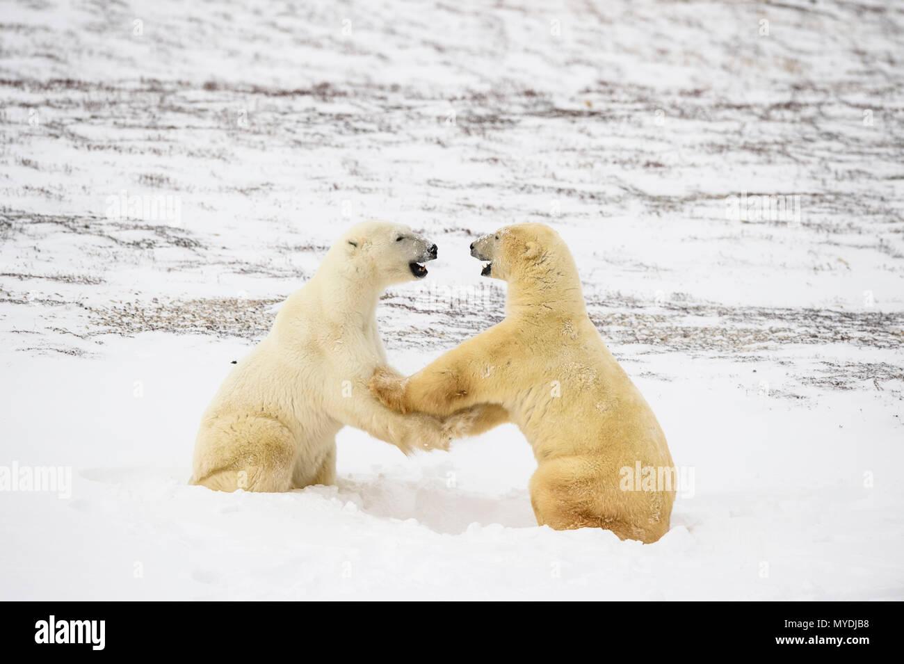 Eisbär (Ursus maritimus) Sparring Paar, Wapusk NP, Cape Churchill, Manitoba, Kanada Stockbild