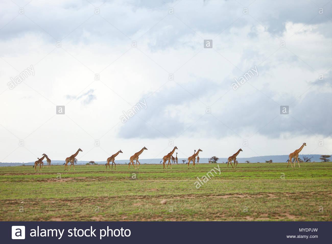 Eine Herde von Masai giraffe Spaziergang über die Serengeti Plains. Stockbild