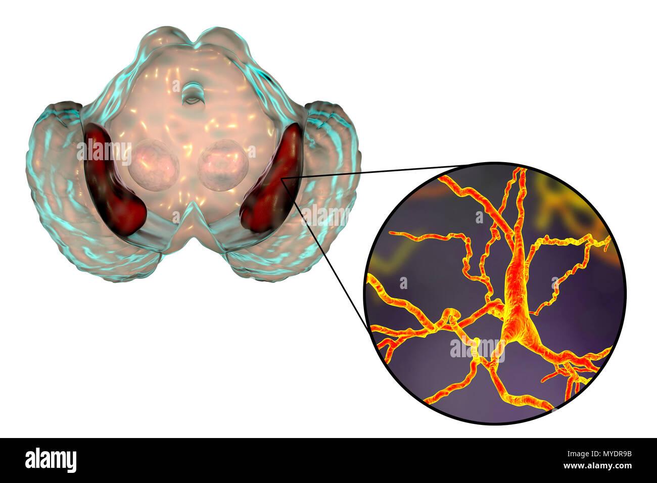 Substantia nigra. Computer zeigt eine gesunde substantia Nigra aus ...