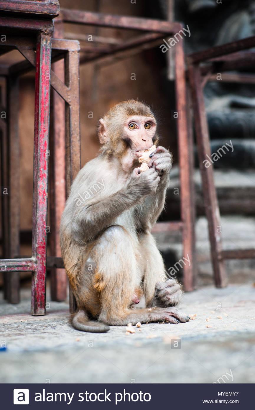 Ein Macaque isst Essensresten hinter dem Tempel Besucher Links. Stockbild