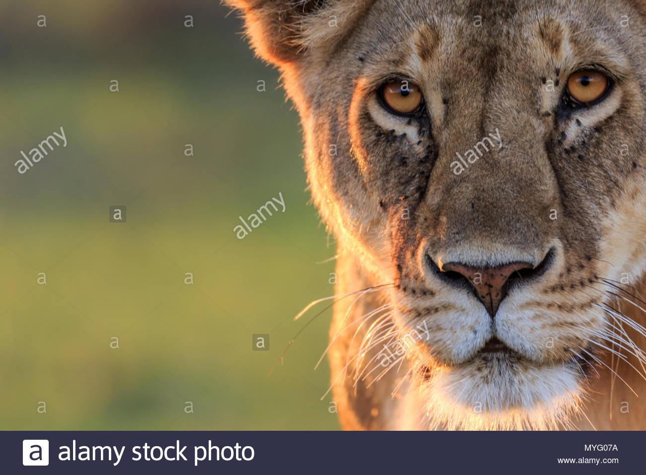 Eine weibliche Löwe Panthera leo, blickt in die Kamera. Stockbild