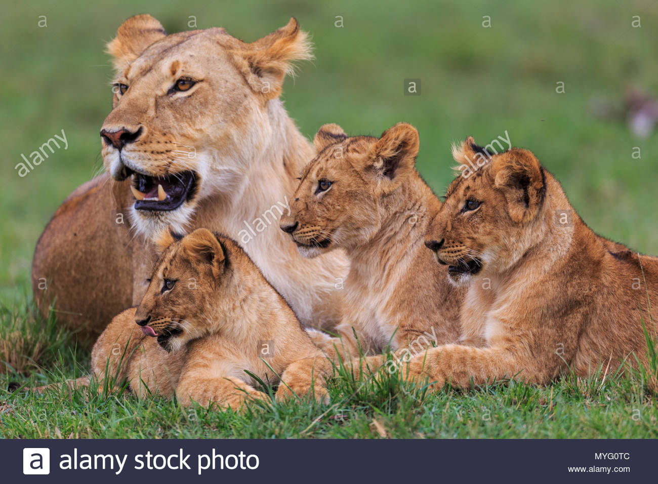 Alert Löwin und Jungen lag im Gras. Stockbild