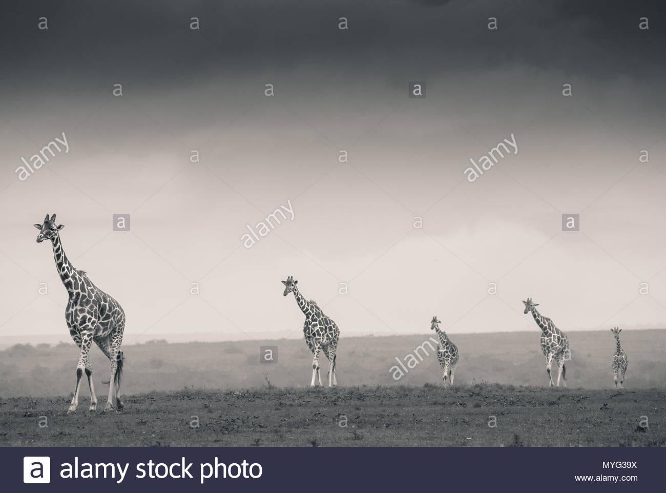 Netzgiraffen Spaziergang über die Ebenen von Solio Rhino Sanctuary. Stockbild