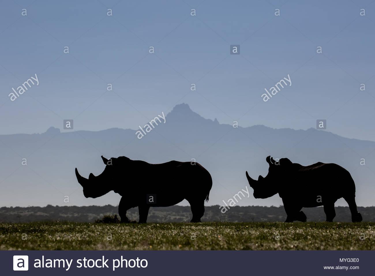Zwei weiße Nashörner Silhouette gegen den Umriss des Mount Kenia an einem klaren Morgen. Stockbild