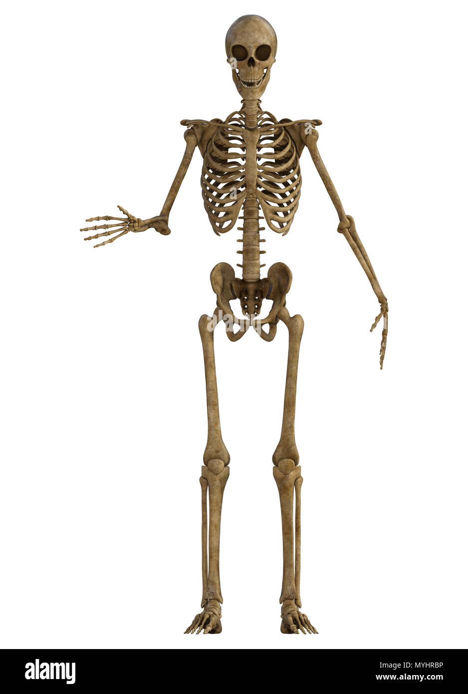 Fantastisch Menschliches Skelett Hand Fotos - Anatomie Von ...