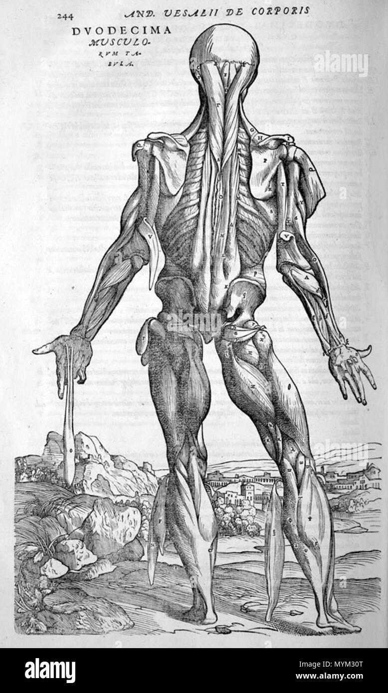 Großartig Muskel Anatomie Zurück Fotos - Physiologie Von ...