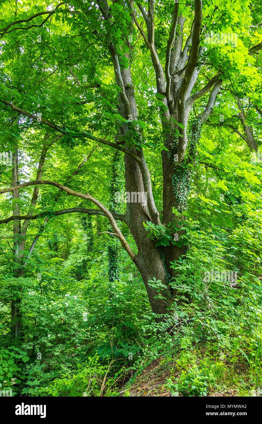 Kastanienbaum mit Efeu bewachsen. Stockbild