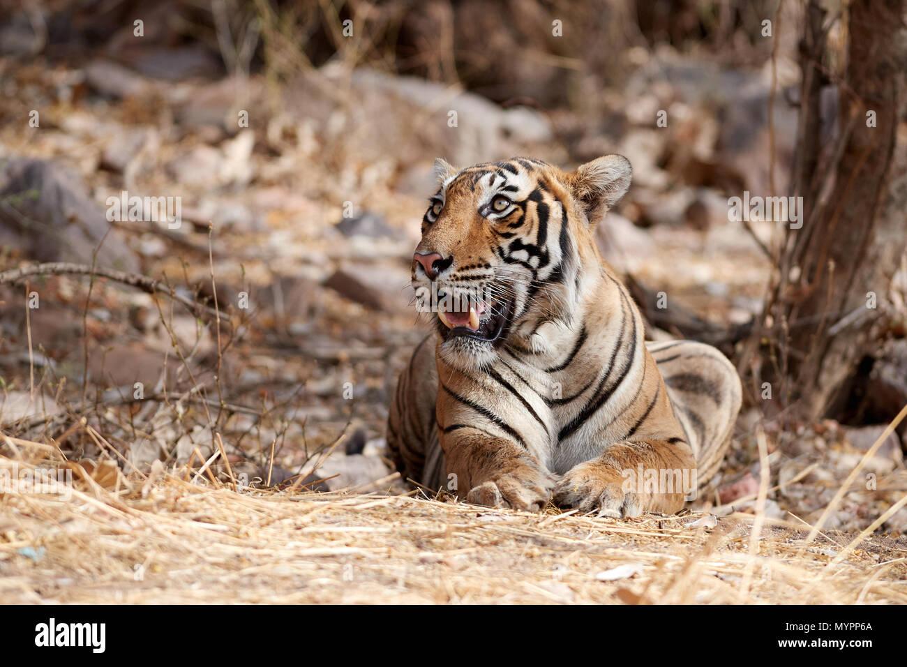Junior Indu männliche Tiger Cub Stockbild