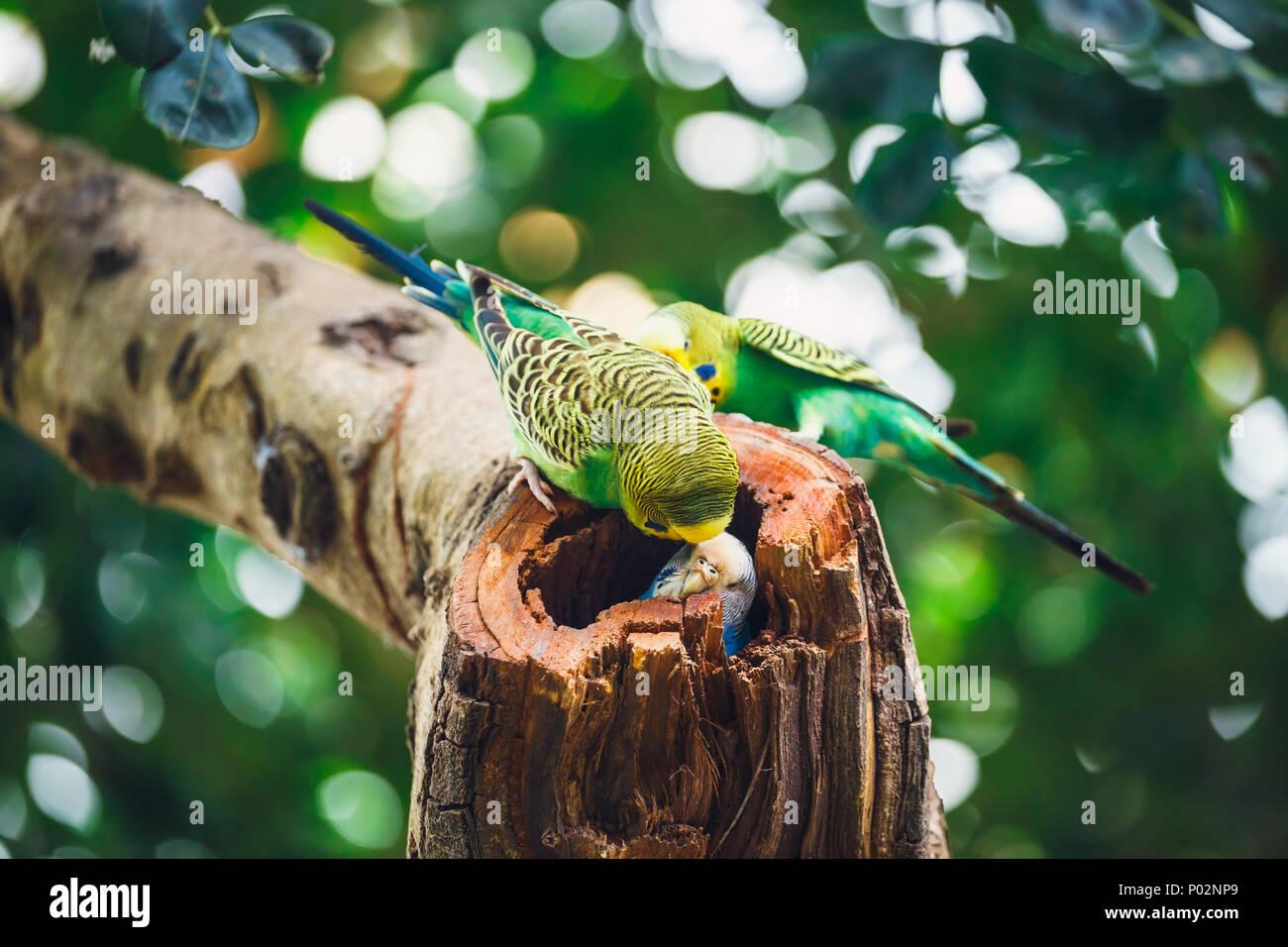Wellensittiche sitzen im Nest, Melopsittacus undulatus Stockfoto
