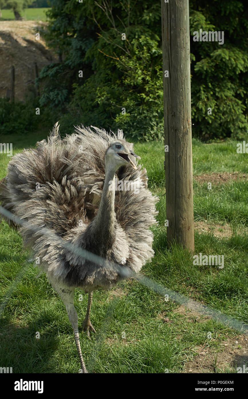 Die größere Nandu (Rhea americana) ist ein flugunfähiger Vogel auf einem Bauernhof in Bayern Stockbild