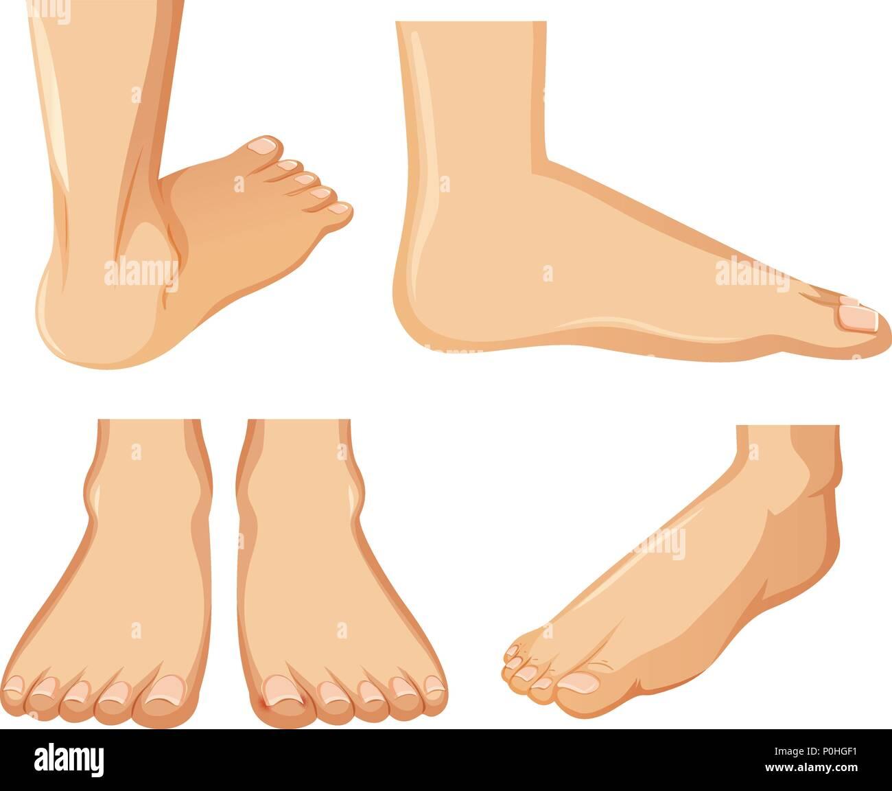 Menschlichen Fuß Anatomie auf weißem Hintergrund Abbildung Vektor ...