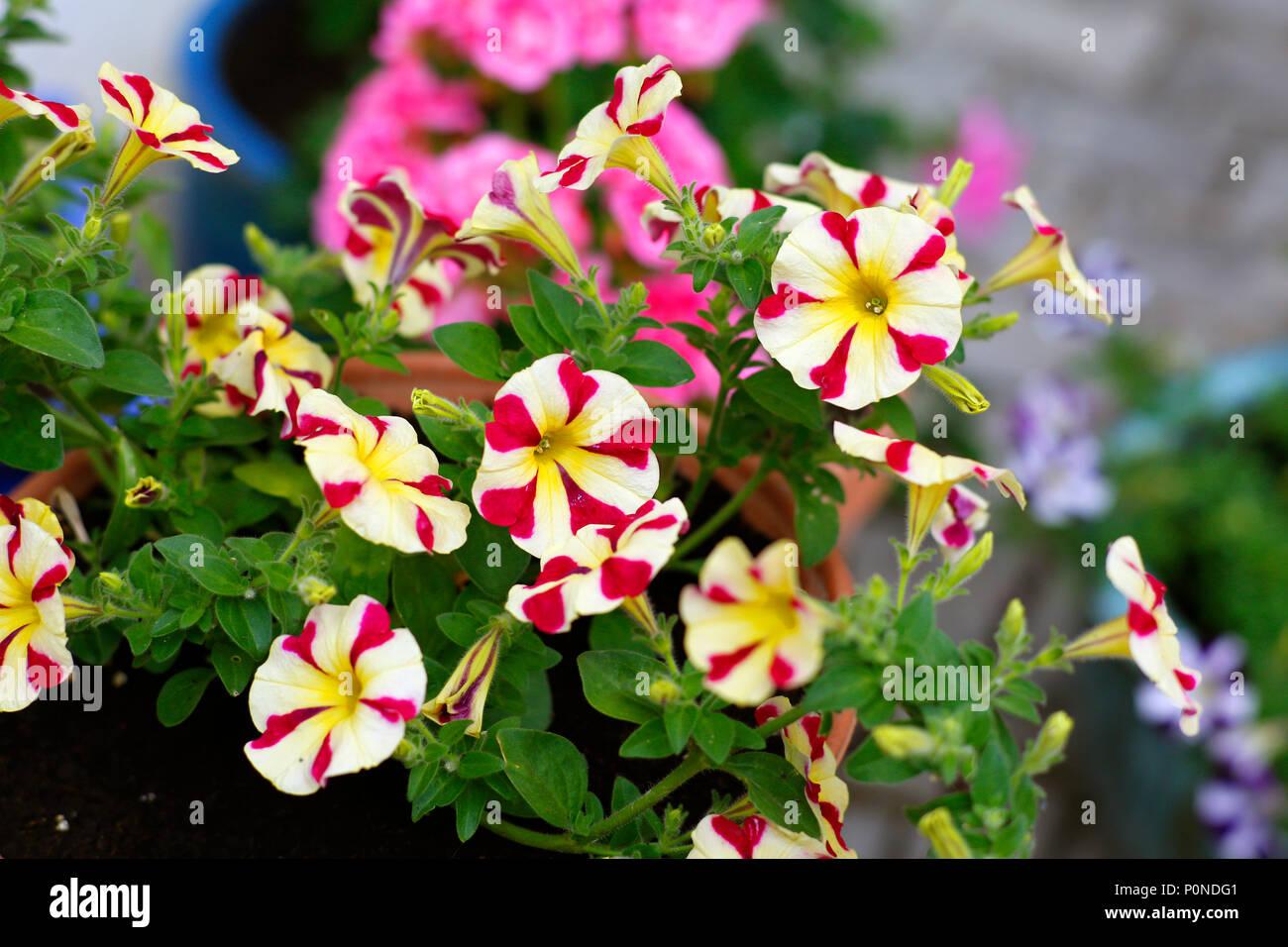 Lieblings Topfpflanzen Sommer Pflanzen, Petunien und Geranien Stockfoto &LQ_11