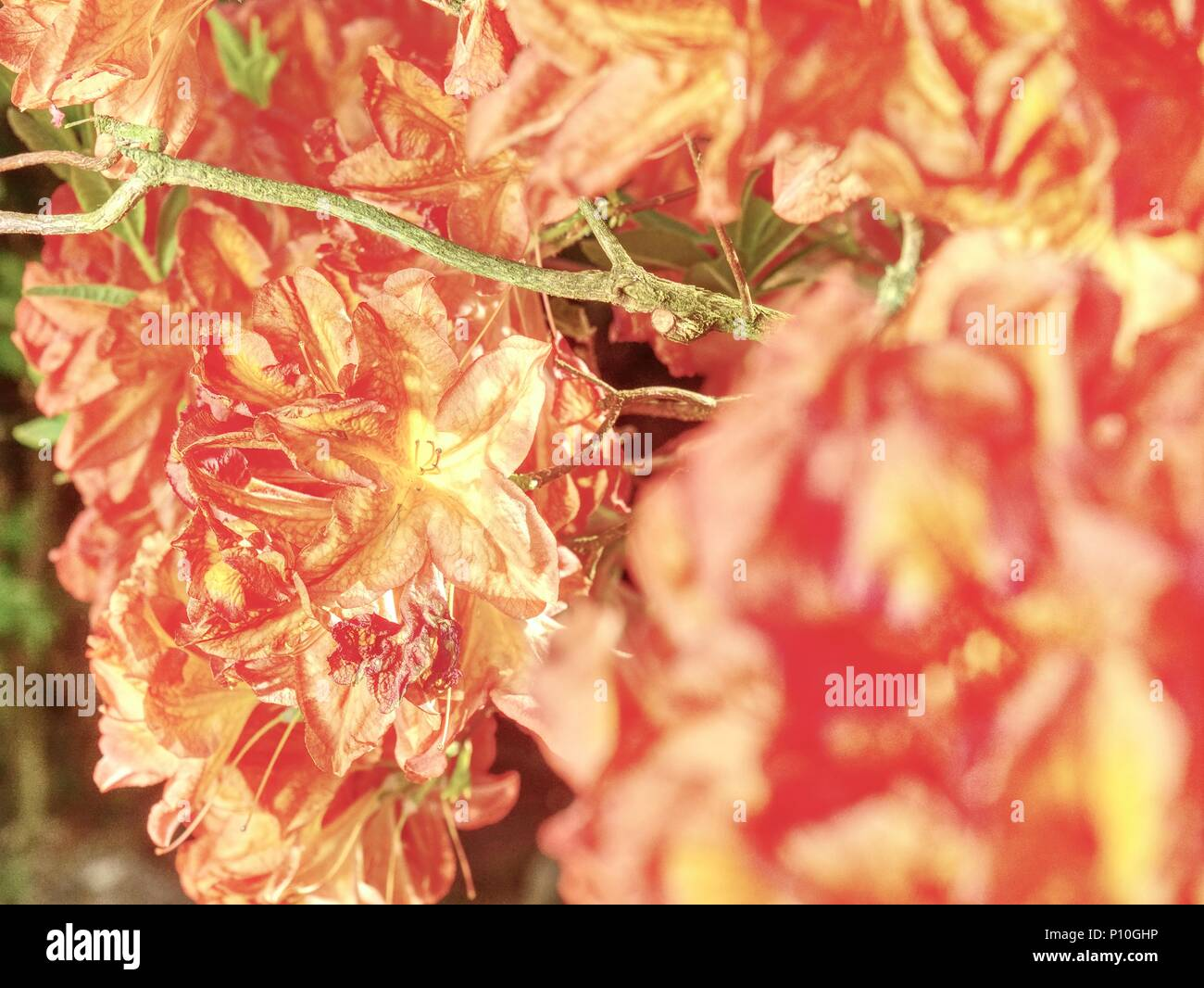 Rhododendron Pflanzen in voller Blüte mit Blumen in verschiedenen ...