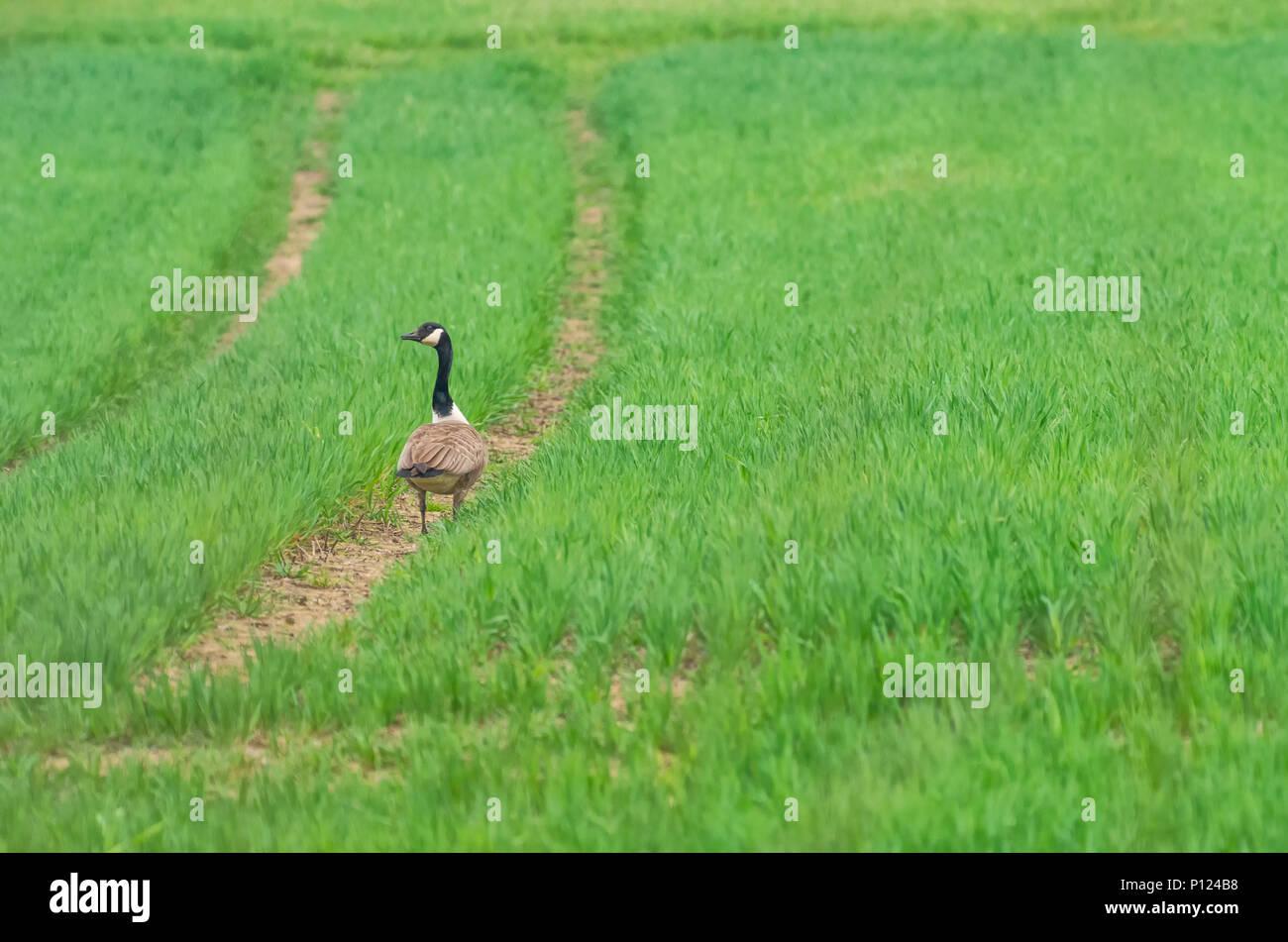 Kanada Gans Im Grünen Bereich Stockfoto Bild 207186428 Alamy