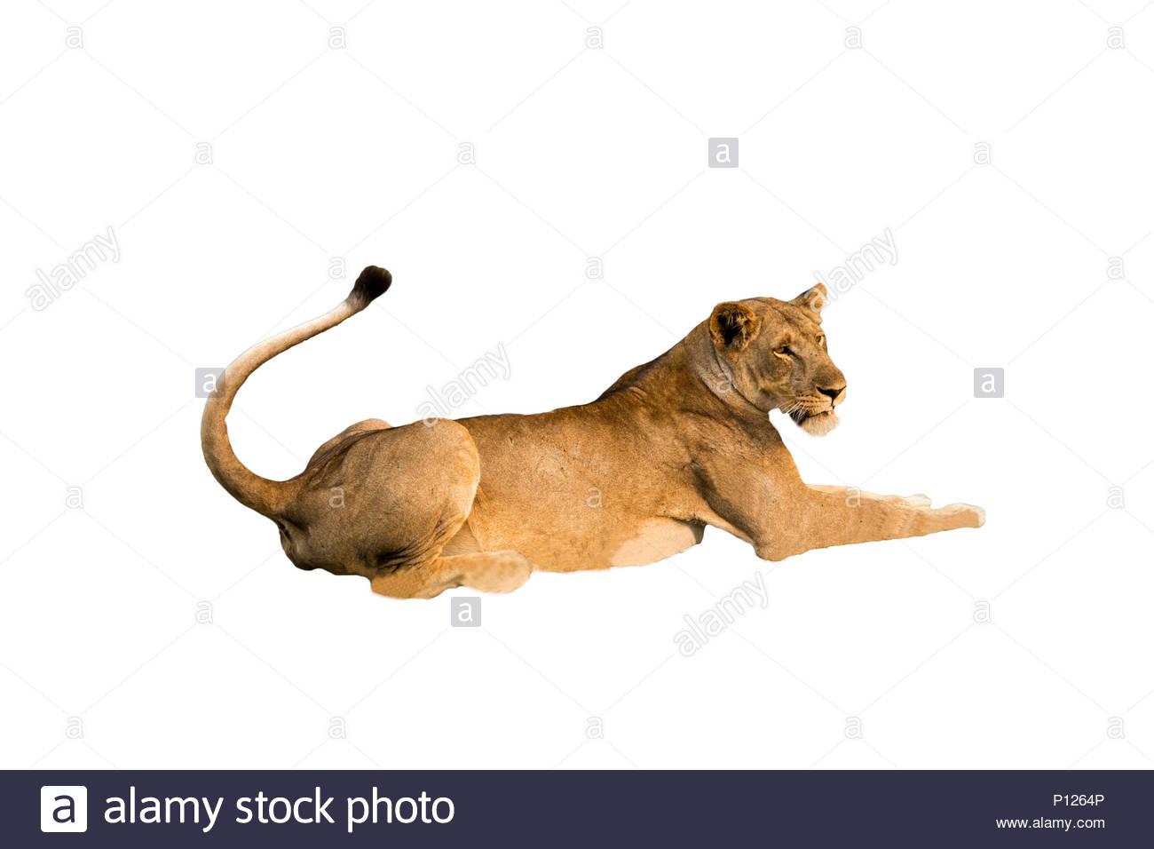 Löwe Ausgeschnitten Stockfotos Löwe Ausgeschnitten Bilder Alamy