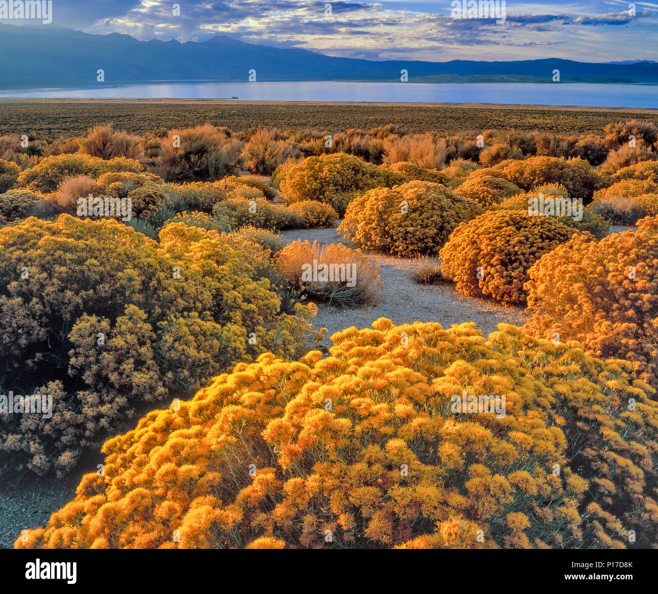 Letztes Licht, Rabbitbrush, Ericameria nauseosa, Mono Lake, Mono Basin National Forest Scenic Area, Inyo National Forest, Kalifornien Stockbild