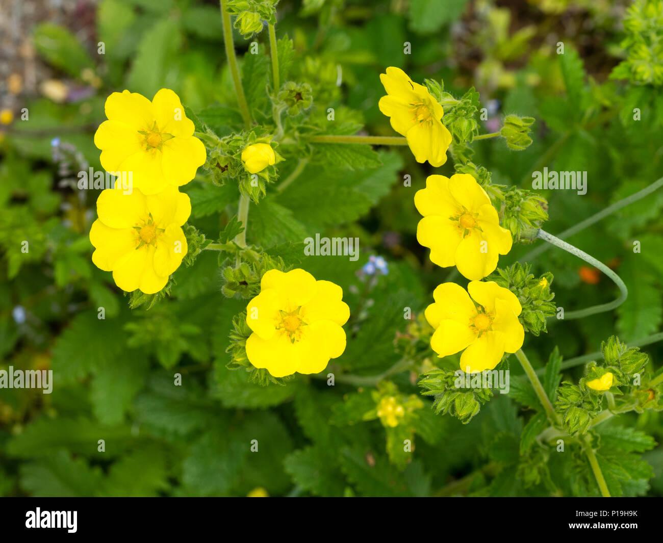 Gelbe Sommerblumen Der Lange Bluhenden Stauden Wolliges